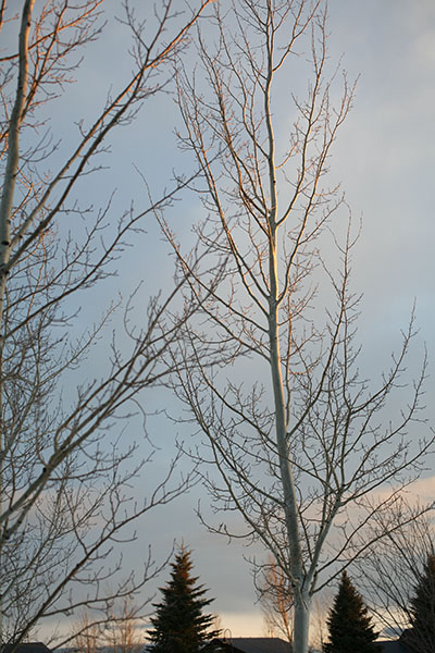 Bare Trees in Colorado